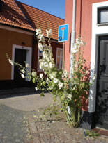 Hollyhocks-in-Skillinge