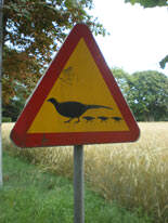 Pheasant-family-crossing