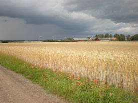 Wheat-fields-between-Trolle-Ljungby-and-Kristianstad